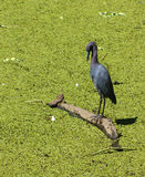 μπλε ερωδιός egretta caerulea λίγα Στοκ Εικόνες