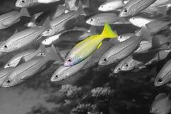 Μπλε ευθυγραμμισμένα snapper ψάρια που ξεχωρίζουν μεταξύ διάφορων ψαριών υποβρύχιων Στοκ εικόνες με δικαίωμα ελεύθερης χρήσης