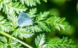 Μπλε ελαιόπρινου πορτρέτου εντόμων Στοκ εικόνες με δικαίωμα ελεύθερης χρήσης