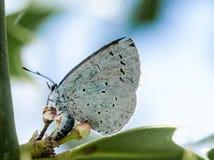 Μπλε ελαιόπρινου πορτρέτου εντόμων Στοκ Εικόνες