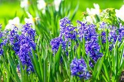 Μπλε ελατήριο κρεβατιών λουλουδιών υάκινθων ξέφωτων Στοκ Εικόνα