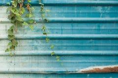Μπλε ζαρωμένη κάλυψη υποβάθρου φύλλων μετάλλων με τον κισσό Στοκ Εικόνες