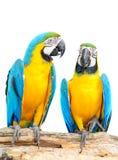 μπλε ζωηρόχρωμος απομονωμένος macaw παπαγάλος Στοκ Φωτογραφίες