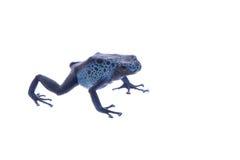 μπλε δηλητήριο βατράχων βελών Στοκ Φωτογραφία
