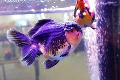 Μπλε διακοσμητικά ψάρια Στοκ Εικόνα