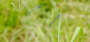Μπλε λιβελλούλες Στοκ Εικόνες