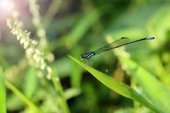 Μπλε λιβελλούλη μακρύς-ουρών στον κήπο Στοκ εικόνες με δικαίωμα ελεύθερης χρήσης