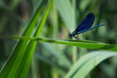 Μπλε λιβελλούλη στο φύλλο Στοκ Εικόνες