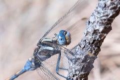 μπλε λιβελλούλη Στοκ Εικόνες