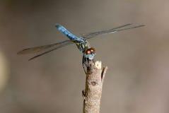 Μπλε λιβελλούλη darter Στοκ φωτογραφίες με δικαίωμα ελεύθερης χρήσης