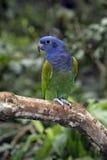 Μπλε-διευθυνμένος παπαγάλος, menstruus Pionus στοκ φωτογραφία με δικαίωμα ελεύθερης χρήσης