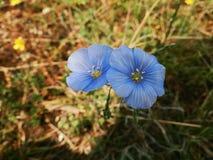 μπλε λινάρι Στοκ Εικόνα