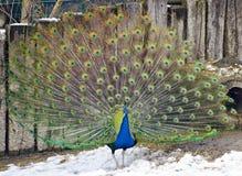 Μπλε ινδικό peafowl που επιδεικνύει το τραίνο στοκ φωτογραφίες με δικαίωμα ελεύθερης χρήσης