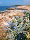 Μπλε κάρδος λουλουδιών θάλασσας στην ακτή Στοκ Εικόνες