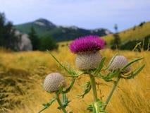 Μπλε κάρδος λουλουδιών στο λιβάδι με τα βουνά Στοκ Εικόνες