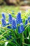 Μπλε κήπος λουλουδιών armeniacum Muscari (υάκινθος σταφυλιών) ανθίζοντας την άνοιξη Στοκ Φωτογραφία