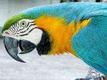 Μπλε-κίτρινος παπαγάλος ara Στοκ Εικόνες