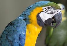 Μπλε & κίτρινος παπαγάλος McCaw Στοκ φωτογραφίες με δικαίωμα ελεύθερης χρήσης