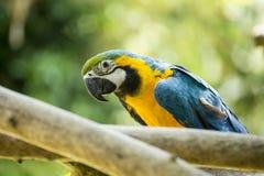 Μπλε & κίτρινος παπαγάλος McCaw Στοκ Φωτογραφία