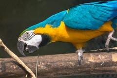 Μπλε κίτρινο πουλί macaw σε ένα άδυτο πουλιών Στοκ Εικόνες