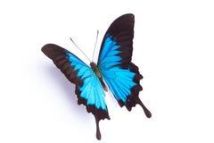 Μπλε και ζωηρόχρωμη πεταλούδα στο άσπρο υπόβαθρο Στοκ Εικόνα