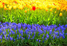 Μπλε και κίτρινα λουλούδια σε Keukenhof στοκ εικόνες με δικαίωμα ελεύθερης χρήσης