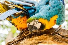 Μπλε-και-κίτρινοι παπαγάλοι Macaw Στοκ Φωτογραφία