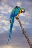 Μπλε και κίτρινος παπαγάλος Macaw ή Ara Ararauna Στοκ Εικόνες