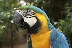 Μπλε και κίτρινος παπαγάλος Macaw - ararauna Ara Στοκ Εικόνες