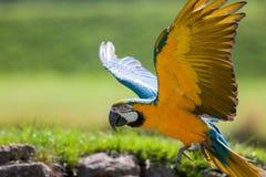 Μπλε και κίτρινος χρυσός macaw Όμορφο πουλί παπαγάλων που πετά στο CL Στοκ φωτογραφία με δικαίωμα ελεύθερης χρήσης
