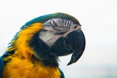Μπλε και κίτρινο πορτρέτο Ara Macaw παπαγάλων μιας κινηματογράφησης σε πρώτο πλάνο Στοκ φωτογραφία με δικαίωμα ελεύθερης χρήσης