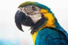 Μπλε και κίτρινο πορτρέτο Ara Macaw παπαγάλων μιας κινηματογράφησης σε πρώτο πλάνο Στοκ Φωτογραφία