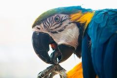 Μπλε και κίτρινο πορτρέτο Ara Macaw παπαγάλων μιας κινηματογράφησης σε πρώτο πλάνο Στοκ Εικόνες