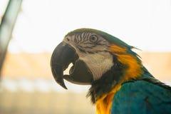 Μπλε και κίτρινο πορτρέτο Ara Macaw παπαγάλων μιας κινηματογράφησης σε πρώτο πλάνο Στοκ Εικόνα