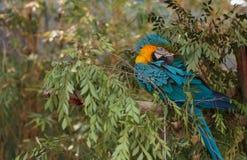 Μπλε και κίτρινο πουλί macaw Στοκ Εικόνες