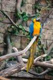 Μπλε και κίτρινο ara παπαγάλων Στοκ φωτογραφίες με δικαίωμα ελεύθερης χρήσης