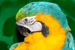 Μπλε-και-κίτρινο ararauna Macaw ή Ara Στοκ Εικόνες
