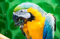 Μπλε-και-κίτρινο ararauna Macaw ή Ara Στοκ Φωτογραφίες
