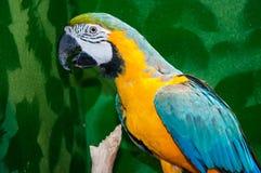 Μπλε-και-κίτρινο ararauna Macaw ή Ara Στοκ φωτογραφία με δικαίωμα ελεύθερης χρήσης