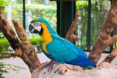 Μπλε-και-κίτρινο macaw επίσης γνωστό ως μπλε-και-χρυσό macaw στο λ Στοκ Φωτογραφία