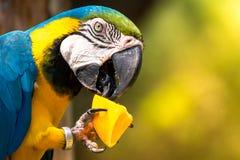 Μπλε-και-κίτρινο macaw (ara-Ararauna) Στοκ φωτογραφίες με δικαίωμα ελεύθερης χρήσης