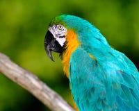 Μπλε-και-κίτρινο macaw & x28 Ara ararauna& x29  Στοκ φωτογραφία με δικαίωμα ελεύθερης χρήσης