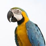 Μπλε-και-κίτρινο Macaw (ararauna Ara), επίσης γνωστό ως μπλε-και Στοκ εικόνες με δικαίωμα ελεύθερης χρήσης