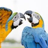Μπλε-και-κίτρινο Macaw (ararauna Ara), επίσης γνωστό ως μπλε-και Στοκ Εικόνες