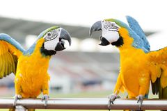 Μπλε-και-κίτρινο Macaw (ararauna Ara), επίσης γνωστό ως μπλε-και Στοκ φωτογραφίες με δικαίωμα ελεύθερης χρήσης