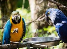 Μπλε-και-κίτρινο macaw (ararauna Ara) και υάκινθος macaw (Anodorh Στοκ εικόνα με δικαίωμα ελεύθερης χρήσης
