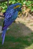 Μπλε-και-κίτρινο macaw, ararauna Ara, παπαγάλος Macaw Στοκ εικόνα με δικαίωμα ελεύθερης χρήσης