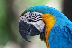 Μπλε-και-κίτρινο Macaw (ararauna Ara) Στοκ φωτογραφίες με δικαίωμα ελεύθερης χρήσης