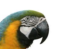 Μπλε-και-κίτρινο macaw, ararauna Ara Στοκ Φωτογραφία