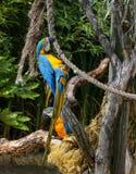 Μπλε και κίτρινο Macaws Ara Ararauna Στοκ Εικόνες